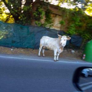 Carpineto Romano, catturati sette bovini selvatici: 3 tori e 4 mucche vagavano tra Carpinetana e Capo del Monaco