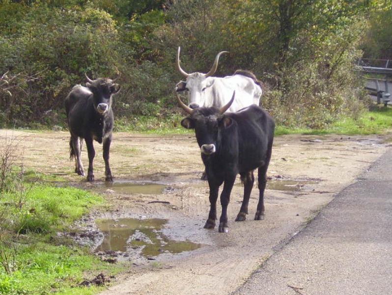 Carpineto Romano, catturati e affidati 3 bovini sprovvisti di marchi auricolari