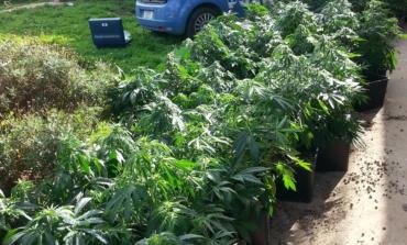 Albano Laziale, coltivava marijuana in giardino: arrestato 50enne di Marino