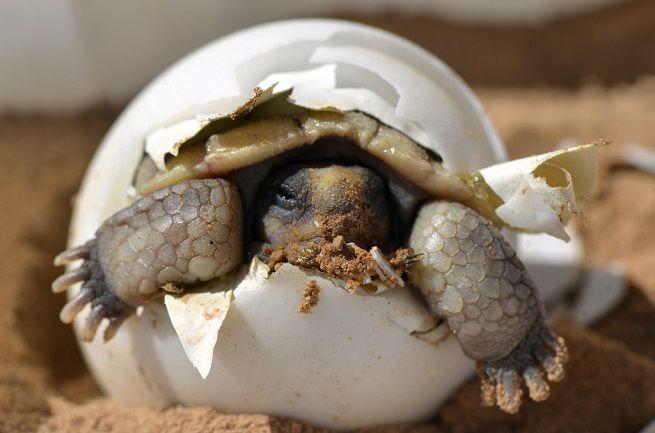 Ardea uova di tartaruga al lido dei coralli sindaco for Deposizione uova tartarughe