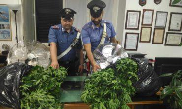 Cave, Carabinieri scoprono piantagione con 300 piante di marijuana: in manette un giovane