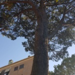 Colleferro, alberi considerati pericolosi in via dei Pioppi (FOTO)
