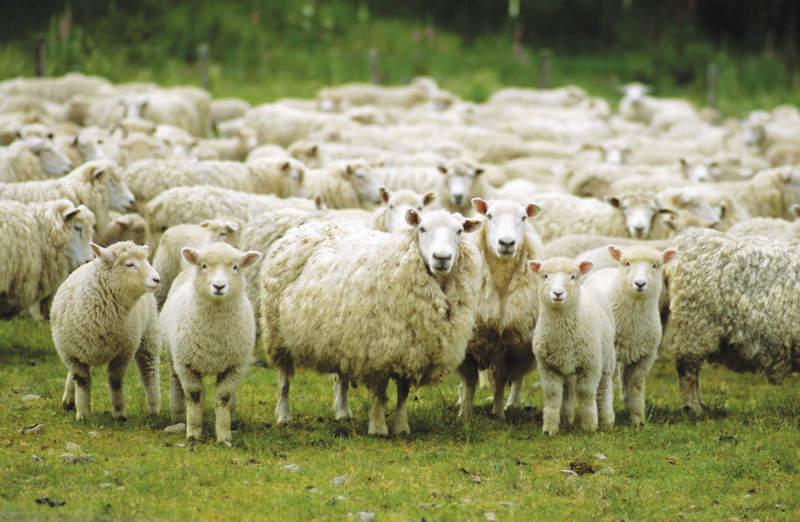Bracciano. Ritrovate le 60 pecore rubate ad un allevatore locale