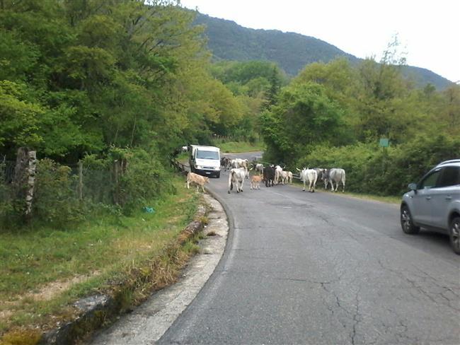 Carpineto Romano, bovini considerati pericolosi nel centro abitato: un toro abbattuto nella notte