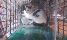 Via Lavinio, intervento della Polizia Locale a soccorso di gatti in un appartamento