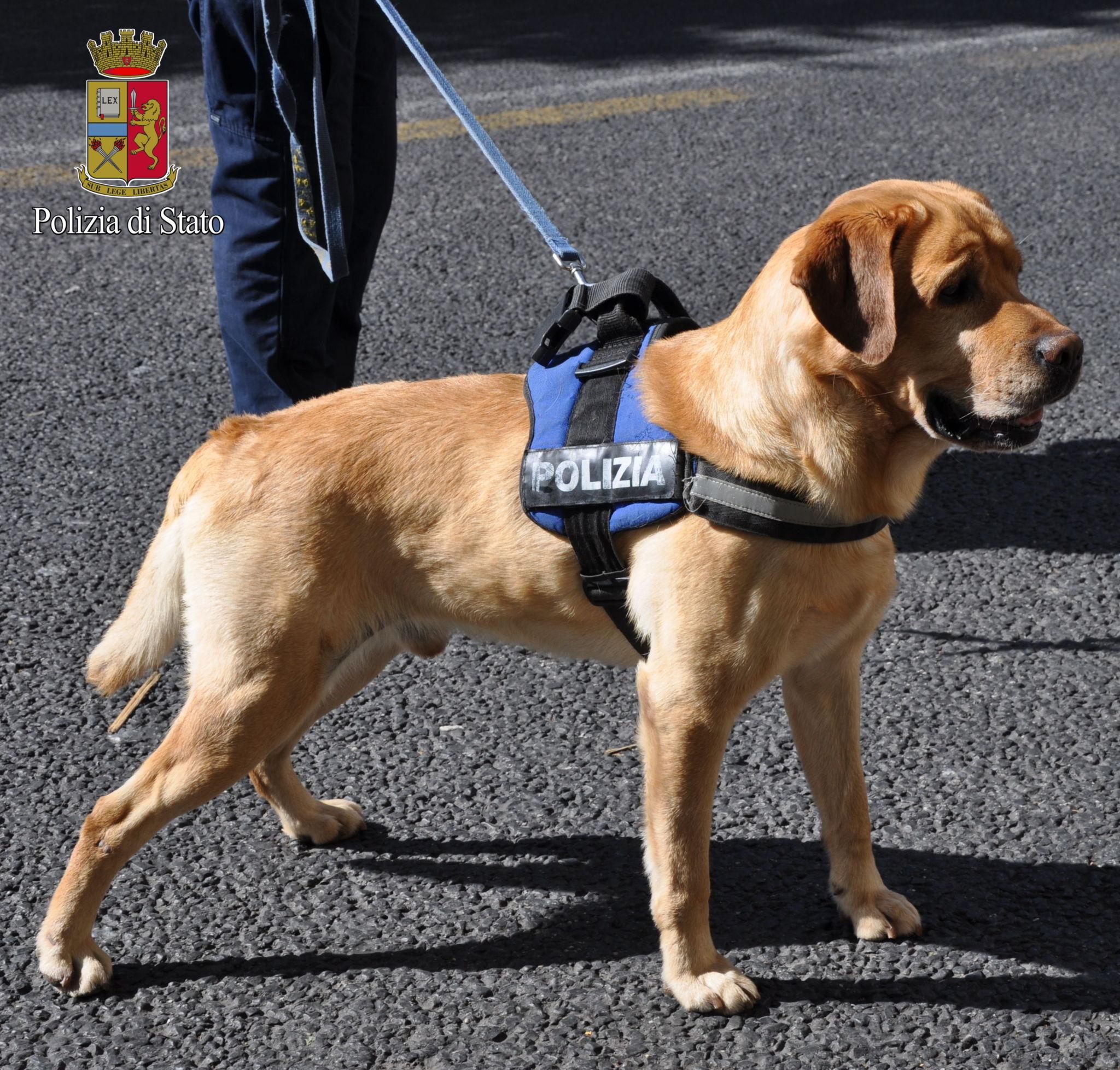 """Frosinone, due denunce per porto di armi atte a offendere. Nei guai anche due persone a Sora grazie al fiuto del cane anti droga """"Enduro"""""""