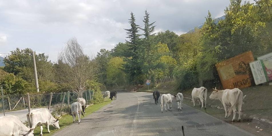 Carpineto, tori grandi e pericolosi nel centro abitato: catturati e abbattuti